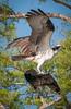 • Blue Cypress Lake<br /> • I guess it still must be Osprey mating season