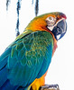 • Wild Florida off of Cypress Creek Road<br /> • Blue Gold Macaw