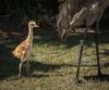 • Wild Florida off of Cypress Creek Road<br /> • Sandhill Crane chick following its mom