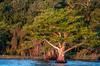 • Blue Cypress Lake<br /> • Beautiful Cypress tree