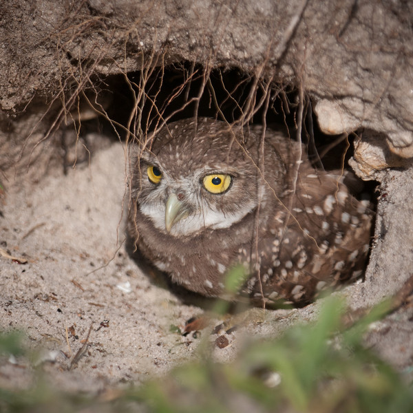 One of the baby Burrowing Owls peeking out of its hole