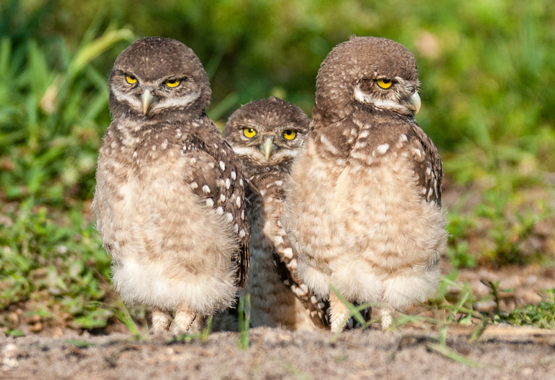 Yes, we are the Burrowing Owl trio