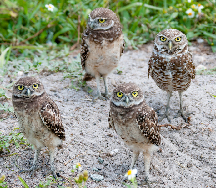 A family of 3 juvenile Burrowing Owls with an adult.