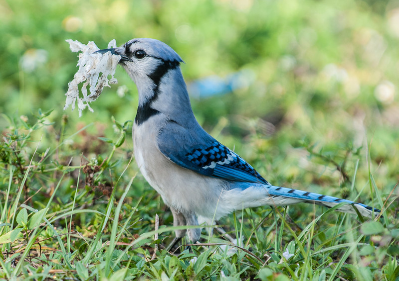 A Blue Jay picking something out the ground and flying off with it.