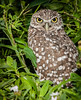 Yes, I think you are a cute Burrowing Owl