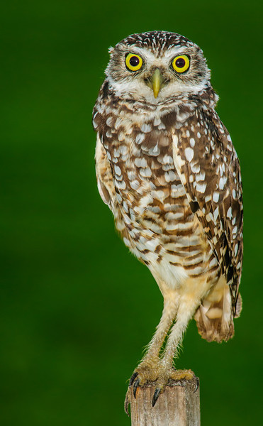 The Burrowing Owl is my favorite bird to photograph because they have such a personality.