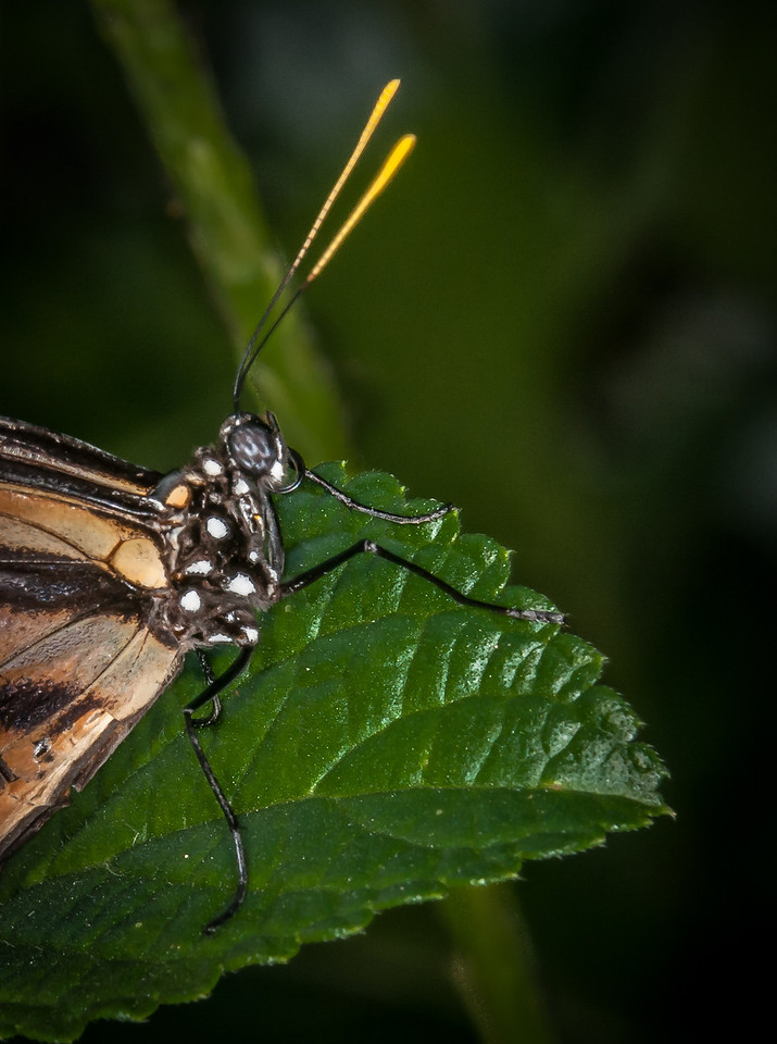 Tiger-mimic Queen - Lycorea halia atergatis