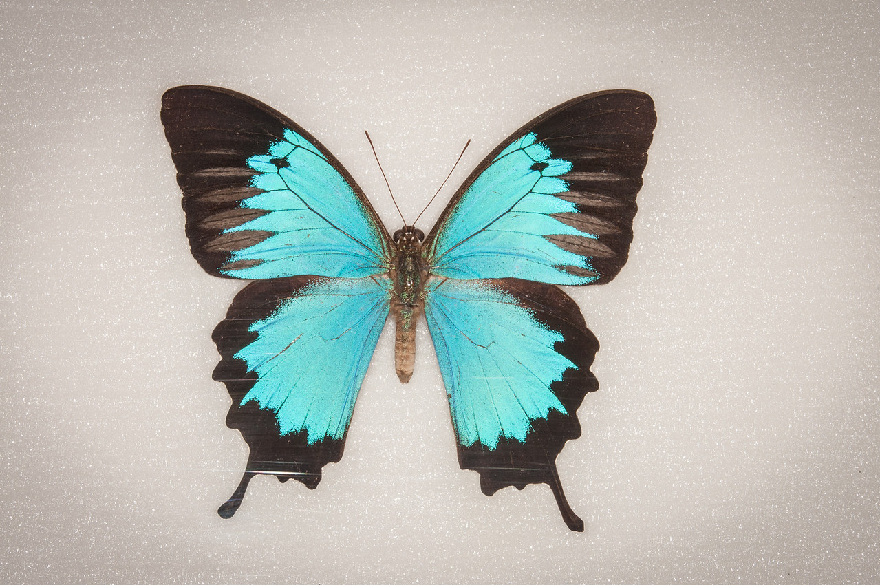 The only Papilio Ulysses photo that was available for me to take was this structure on a wall.