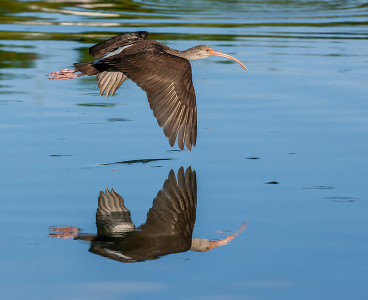 Glossy Ibis in flight with its reflection.