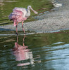 Roseate Spoonbill doing a little shaking