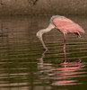 Roseate Spoonbill looking at its reflection