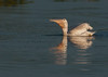 The White Pelican in the process of swallowing a fish it just scooped up.