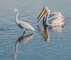 The pair of White Pelicans following the Great Egret's lead.