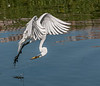 • Gatorland - Bird Rookery<br /> • This Great Egret just came up from diving into the water