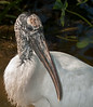 • Gatorland - Bird Rookery<br /> • I really like how the Wood Stork posed for me