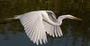 • Gatorland - Bird Rookery<br /> • Great Egret in flight