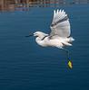 • Gatorland - Bird Rookery<br /> • Snowy Egret just taking off