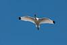 • Gatorland - Bird Rookery<br /> • Yes, that's a Sandhill Crane in flight