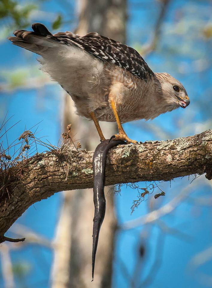 • Gatorland - Swamp Walk<br /> • Red-shouldered Hawk eating a snake