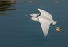 • Gatorland - Bird Rookery<br /> • Snowy Egret in flight with a piece of hotdog