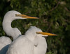 • Gatorland - Bird Rookery<br /> • I guess 2 Great Egret's heads are better than one
