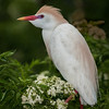 Cattle Egret with its breeding colors