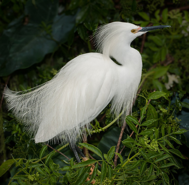 Snowy Egret showing of its feathers