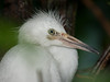 Close-up of a Great Egret Chick