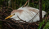 Cattle Egret laying on its nest - I got to keep the rain off the babies and eggs