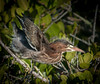 Juvenile Green heron trying out its wings