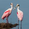• Location - Black Point Drive<br /> • Pair of Roseate Spoonbills beak to beak