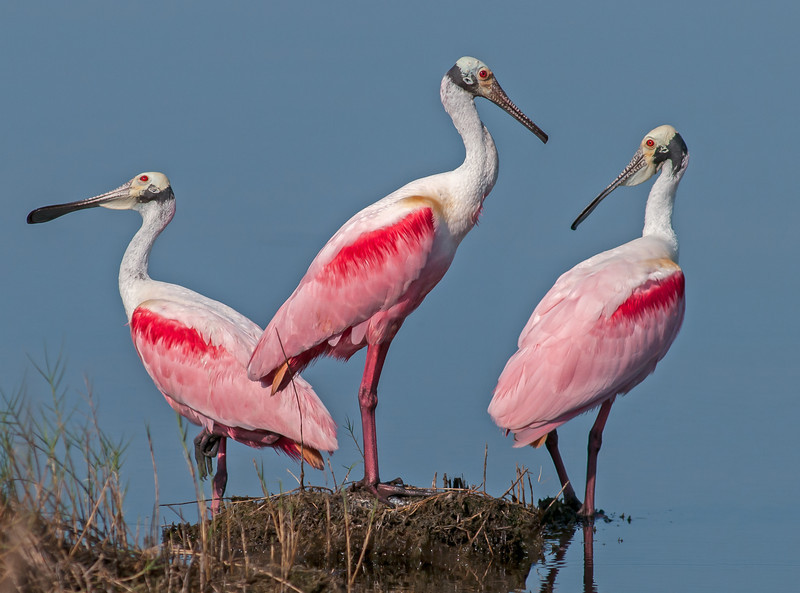 • Location - Black Point Drive<br /> • Trio of Roseate Spoonbills with interesting expressions<br /> • Hear no evil, speak no evil, and see no evil