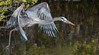 • Location - Black Point Drive<br /> • Great Blue Heron on the way to capture a fish