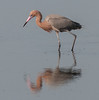 • Location - Black Point Drive<br /> • Breeding Reddish Egret looking for some thing to eat - Check out the eyes and the beak