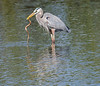• Location - Max Brewer Memorial Parkway<br /> • Great Heron eating a yummy snake