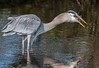 • Location - Black Point Drive<br /> • Great Blue Heron in the process of eating a fish - Wow