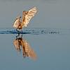 Reddish Egret flapping its wings