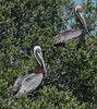 A pair of Brown Pelican hanging out in a tree