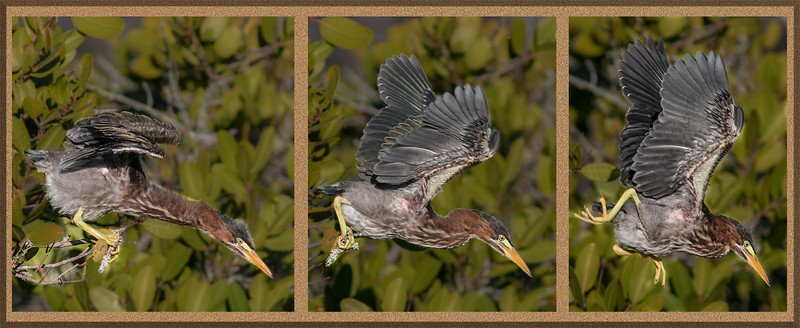 A sequence of 3 images of the juvenile Green Heron taking off from a branch.