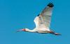 White Ibis in flight