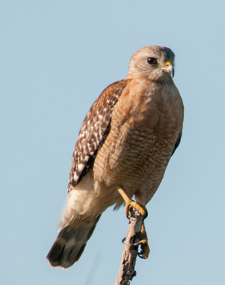 • Location - Moccasin Island Tract<br /> • Red-shoulder Hawk