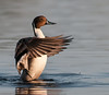 •Location - Black Point Drive at Merritt Island National Wildlife Refuge<br /> • Male Northern Pintail flapping its wings