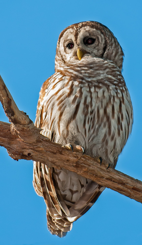 •Location - Moccasin Island Tract Road<br /> • Barred Owl