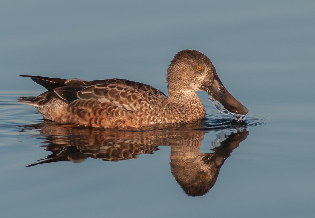 •Location - Viera Wetlands<br /> • Female Northern Shoveler