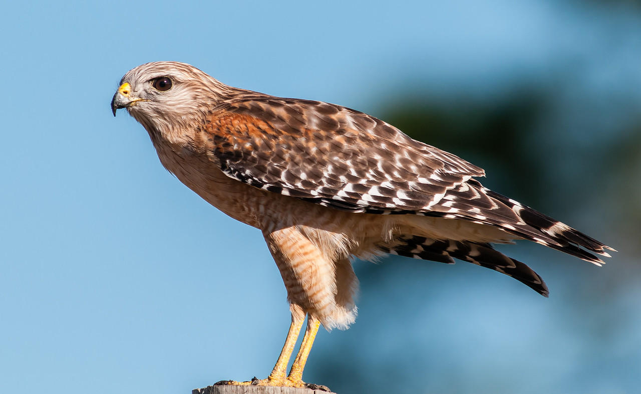 •Location - Moccasin Island Tract Road<br /> • Red-shoulder Hawk