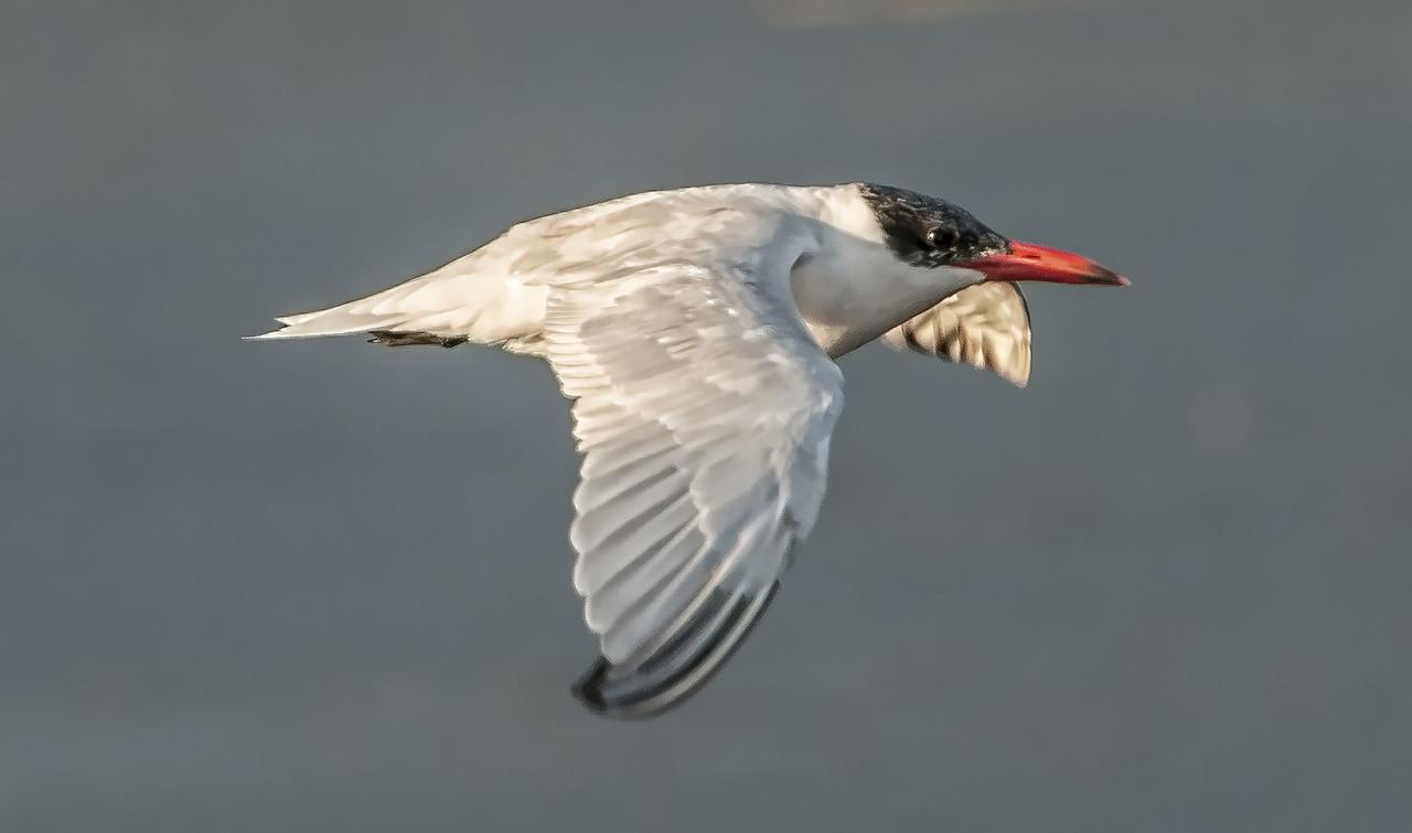 • Location - Viera Wetlands<br /> • Royal Tern