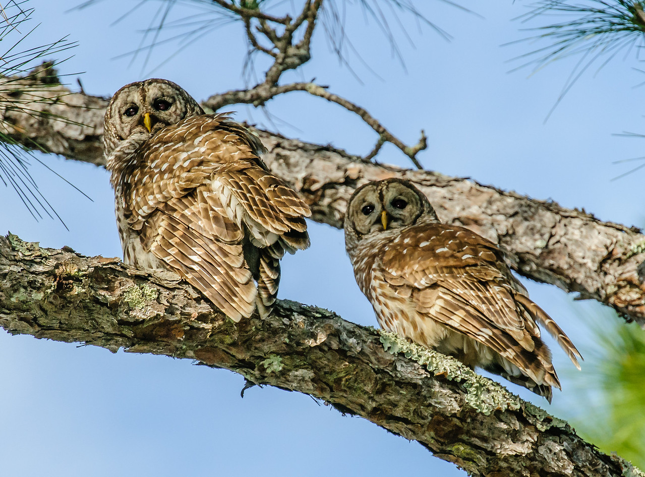 • Location - Moccasin Island Tract Road<br /> • A pair of Barred Owls