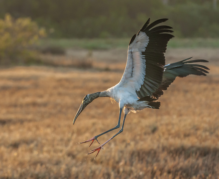 • Location - Merritt Island Wildlife Refuge<br /> • Wood Stork coming in for a landing