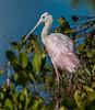 • Location - Merritt Island Wildlife Refuge<br /> • Juvenile Roseate Spoonbill