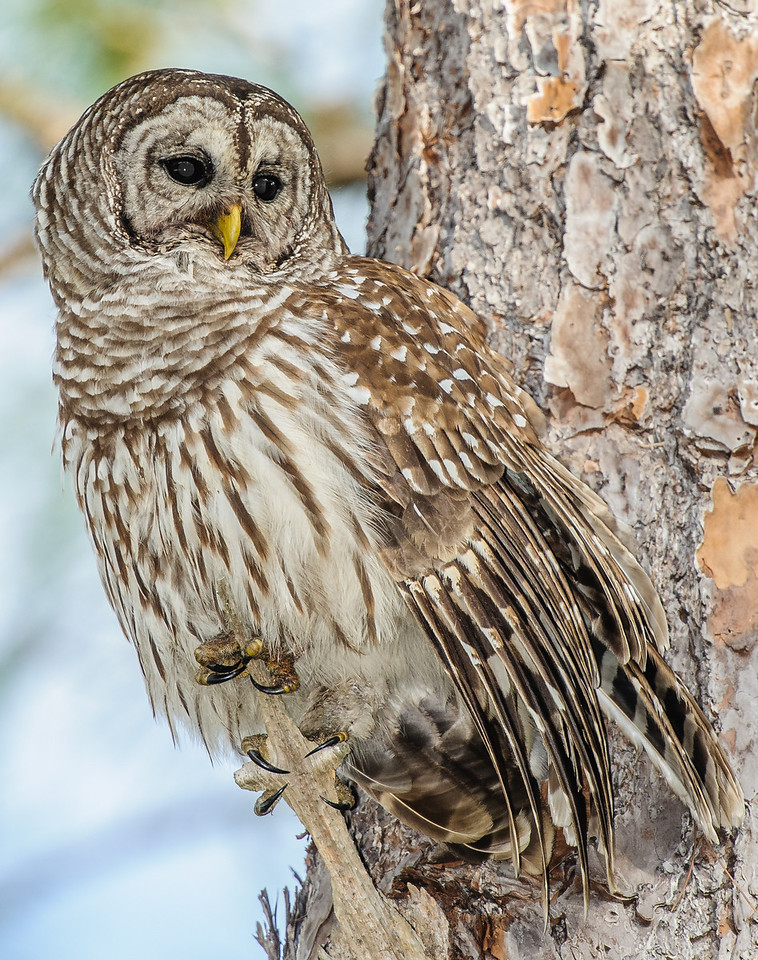 • Location - Moccasin Island Tract Road<br /> • Barred Owl